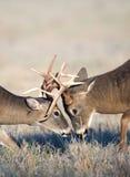 Whitetail deer fighting Royalty Free Stock Image