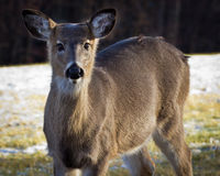 Whitetail deer focused on you. stock images