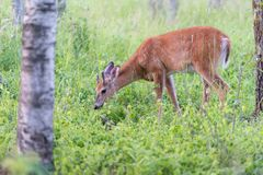 Whitetail Deer foraging for food in the woods. This Whitetail deer near Pinawa Manitoba is enjoying his meal. Walking around the woods showing off his new Stock Photo