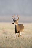 Whitetail deer on frosty morning Stock Image