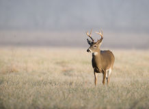 Whitetail deer on frosty morning Stock Photography