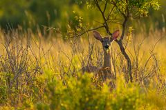 Whitetail deer in golden hour Stock Photo