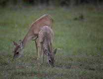 Whitetail Deer Graze royalty free stock photos