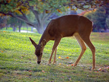 Whitetail deer grazing. Deer grazing the green grass, large trees in the background Royalty Free Stock Photos