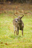 Whitetail deer grazing during a storm Royalty Free Stock Images