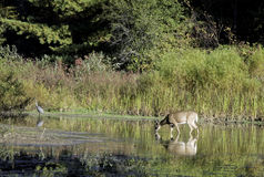 Whitetail deer and a great blue heron in a pond. Stock Photo