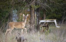Whitetail Deer Protects Baby stock photography