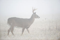 Whitetail deer in heavy fog Stock Photos