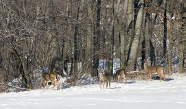 Whitetail Deer Herd Royalty Free Stock Image