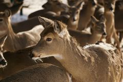 Whitetail Deer Herd stock photography
