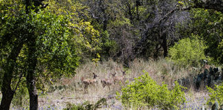 Whitetail Deer Herd - Odocoileus virginianus. This is a Texas whitetail deer, Odocoileus virginianus Stock Photography