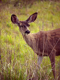 Whitetail deer hiding behind tall grass. Listening for danger with its big ears Royalty Free Stock Images