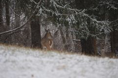 A whitetail deer hiding in the woods. A young whitetail deer hiding in the woods in front of a sign surrounded by trees and snow Royalty Free Stock Photo