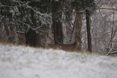 A whitetail deer hiding in the woods. A young whitetail deer hiding in the woods in front of a sign surrounded by trees and snow Stock Photo