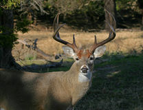 Whitetail deer. A large whitetail deer in the shadows stock photography