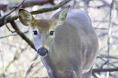 Whitetail deer Royalty Free Stock Photo