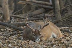 Whitetail Deer. A mature wild Whitetail Deer royalty free stock image