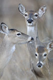 Whitetail deer Mother and family. Whitetail doe and her fawns in fall royalty free stock photography