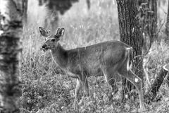 Whitetail Deer black and white photo. This Whitetail deer near Pinawa Manitoba is enjoying his meal. Walking around the woods showing off his new antlers Stock Photography
