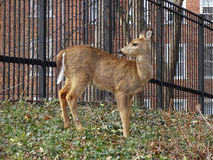 Whitetail Deer in the Neighborhood stock photos