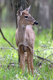 Whitetail Deer, Odocoileus virginianus Royalty Free Stock Photography