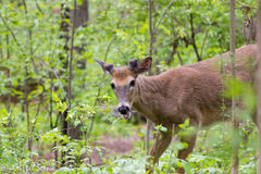 Whitetail Deer Odocoileus virginianus. Eating vegetation at Nichols Arboretum in Ann Arbor, Michigan, USA Royalty Free Stock Image