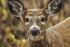 Head Shot Of A Whitetail Deer Odocoileus virginianus  At Five. Whitetail Deer, Odocoileus virginianus, Five Rivers Environmental Center, Delmar, New York Stock Image