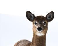 Whitetail deer (Odocoileus Virginianus) in snow Stock Images