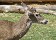 Whitetail Deer - Odocoileus virginianus. This is a Texas whitetail deer, Odocoileus virginianus, a buck with budding antlers Stock Images