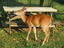 Whitetail Deer in the Park royalty free stock photos