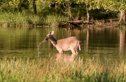 Whitetail deer in a pond. A whitetail doe eating from the bottom of a pond Royalty Free Stock Images