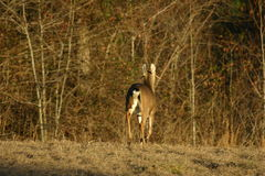 Whitetail deer running. Whitetail deer with non-typical antlers Royalty Free Stock Images