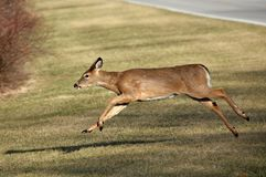 Whitetail Deer Running. Across Road Royalty Free Stock Photography