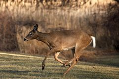 Whitetail Deer Running. In Woods Royalty Free Stock Images