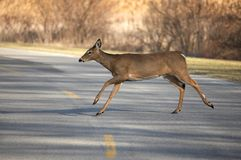 Whitetail Deer Running. Across Road stock photos