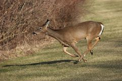 Whitetail Deer Running. In Field Royalty Free Stock Image