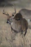 Whitetail Deer Running in Prairie. Big Racked Whitetail Buck Chasing Doe Stock Images