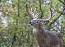 Whitetail deer in rut Stock Photography