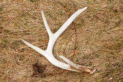 Whitetail Deer Shed Antler in Field. Whitetail deer shed antler sits in a field after dropping off stock photography