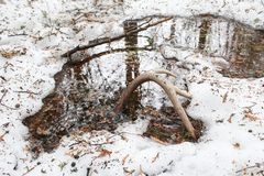 Whitetail Deer Shed Antler Laying on Ground in Snow. A single whitetail deer antler that has shed, sits on the forest floor in the snow and water. Found while stock image