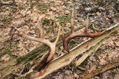Whitetail Deer Shed Antlers Matching Set. A matched set of shed whitetail deer antlers, found while hiking in the forest in Ottawa, Ontario, Canada stock photo