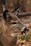Whitetail Deer Side Profile Royalty Free Stock Photo