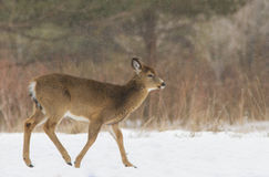 Whitetail deer in snow storm Stock Photography