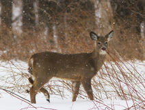 Whitetail deer in snow storm Royalty Free Stock Photo