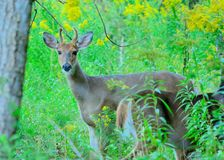 Whitetail Deer Spike Buck Royalty Free Stock Image