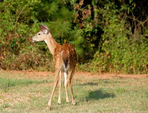 Whitetail deer with spots Royalty Free Stock Photos