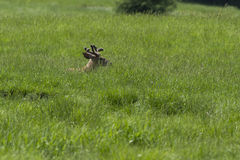 Whitetail deer in spring Royalty Free Stock Photos