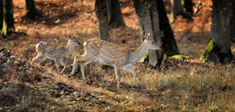 Whitetail Deer standing in autumn day Stock Photo
