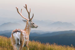 Whitetail Deer Royalty Free Stock Images