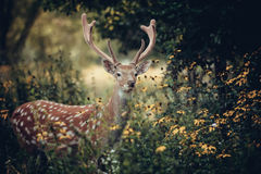 Whitetail deer Royalty Free Stock Image